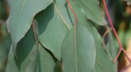 Eucalyptus Wallpaper For Mobile