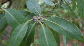 Eucalyptus Wallpaper Free