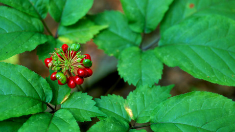 Ginseng wallpapers high quality