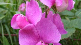 Lathyrus Wallpaper For The Smartphone