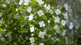 Mock Orange Image Download