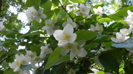 Mock Orange Photo