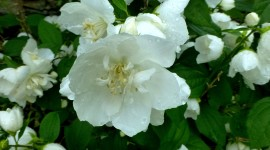 Mock Orange Photo Download