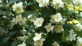 Mock Orange Photo Free