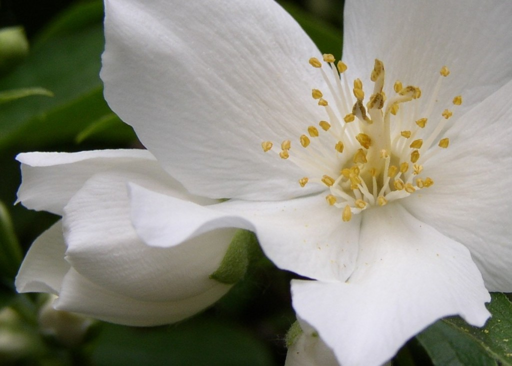 Mock Orange wallpapers HD