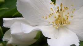 Mock Orange Wallpaper