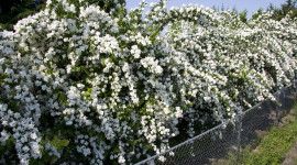 Mock Orange Wallpaper For Desktop