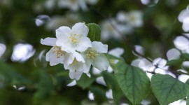 Mock Orange Wallpaper For PC
