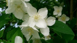 Mock Orange Wallpaper Full HD