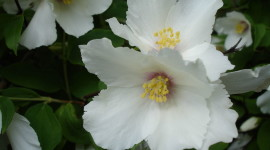 Mock Orange Wallpaper Gallery