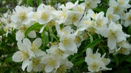 Mock Orange Wallpaper HQ