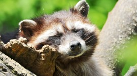Raccoon Sleeping Aircraft Picture
