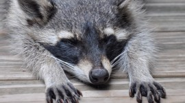 Raccoon Sleeping Desktop Wallpaper