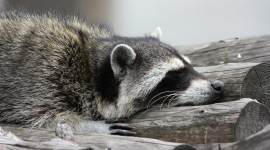 Raccoon Sleeping Desktop Wallpaper HD