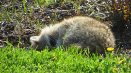 Raccoon Sleeping Image#1