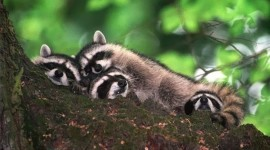 Raccoon Sleeping Photo