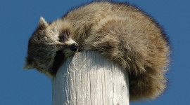 Raccoon Sleeping Photo Download