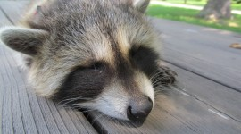 Raccoon Sleeping Picture Download