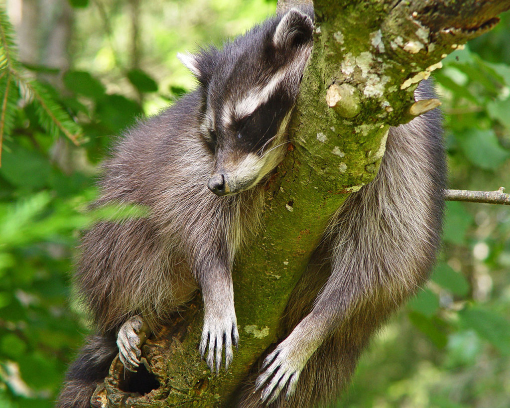 Raccoon Sleeping wallpapers HD