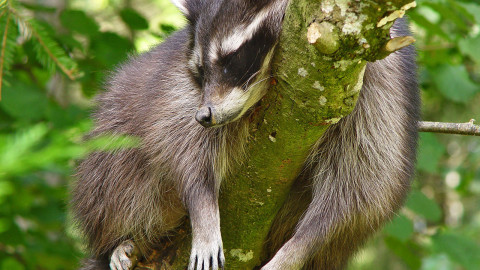Raccoon Sleeping wallpapers high quality