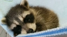 Raccoon Sleeping Wallpaper For Android