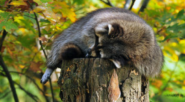 Raccoon Sleeping Wallpaper For Desktop