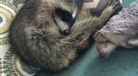 Raccoon Sleeping Wallpaper For IPhone