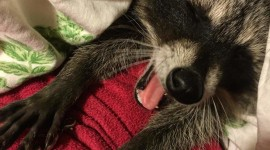 Raccoon Sleeping Wallpaper For Mobile