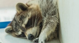 Raccoon Sleeping Wallpaper Free