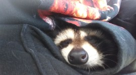 Raccoon Sleeping Wallpaper Full HD