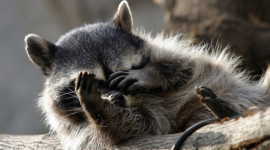 Raccoon Sleeping Wallpaper Gallery