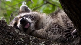 Raccoon Sleeping Wallpaper HQ