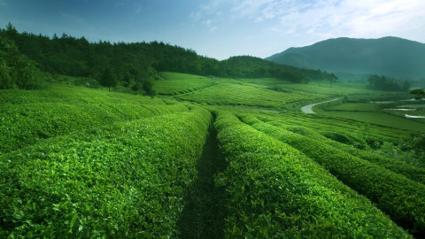 Tea Plantation wallpapers high quality