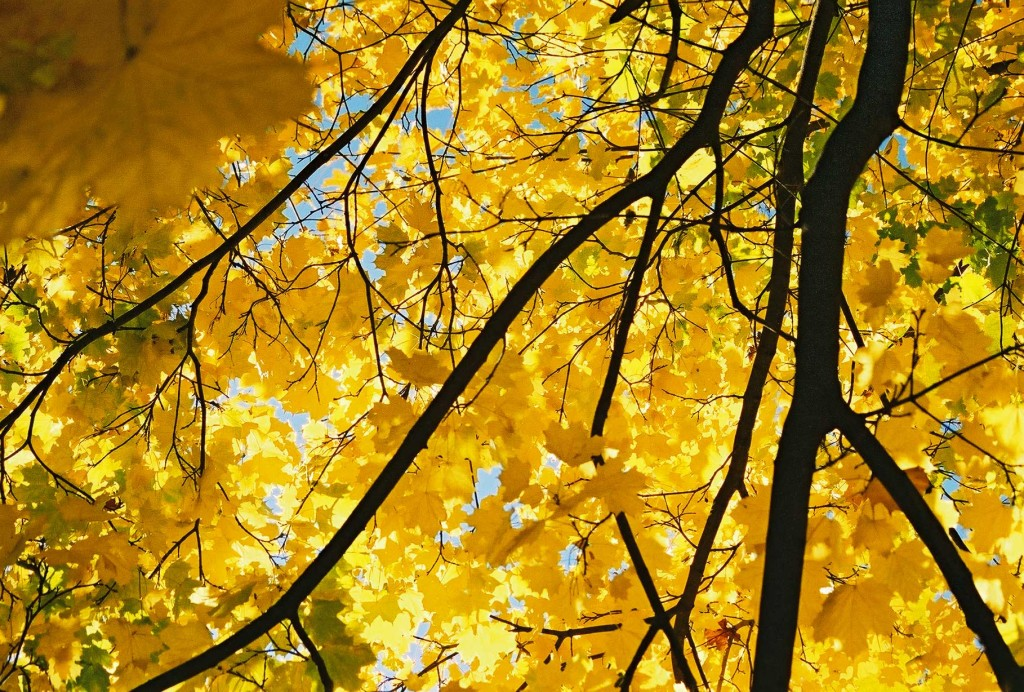 Yellow Maple wallpapers HD
