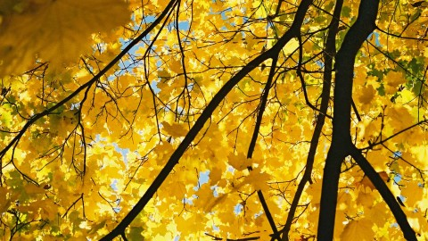 Yellow Maple wallpapers high quality