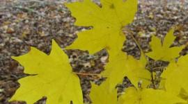 Yellow Maple Desktop Wallpaper HD