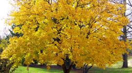 Yellow Maple Wallpaper Full HD