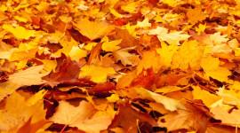 Yellow Maple Wallpaper HD