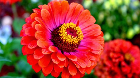 Zinnia wallpapers high quality