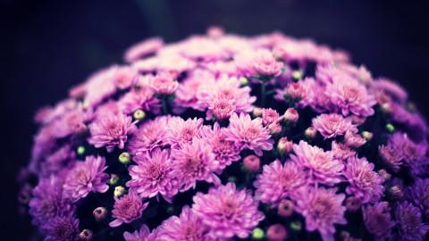 4K Chrysanthemum wallpapers high quality
