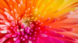 4K Chrysanthemum Wallpaper Download Free