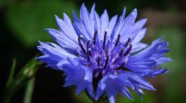 4K Cornflower Photo