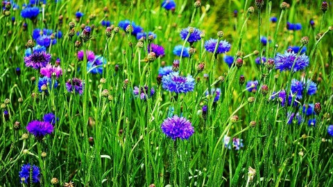 4K Cornflower wallpapers high quality