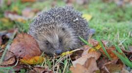 Autumn Hedgehog Desktop Wallpaper