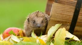 Autumn Hedgehog Desktop Wallpaper For PC