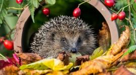 Autumn Hedgehog Photo