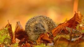 Autumn Hedgehog Photo Download