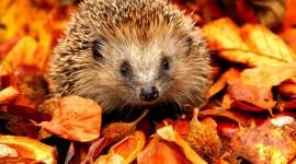 Autumn Hedgehog Photo Free