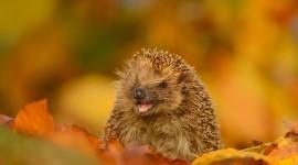 Autumn Hedgehog Picture Download