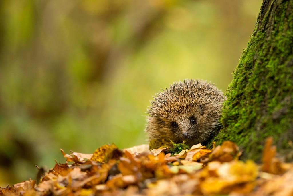 Autumn Hedgehog wallpapers HD